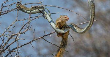 ular-bloomslang-versus-luwak-3_20160218_204200